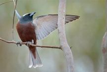 Birds-Artamidae-Woodswallows / The woodswallows have an Australasian distribution, with most of the 11 species occurring in Australia and New Guinea.
