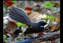 Birds-Rhipiduridae-Fantails / This family of birds consists of the Fantails, small insectivorous birds of Australasia, SE Asia and the Indian Subcontinent that belong to the genus Rhipidura.