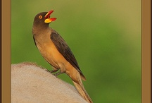 Birds-Buphagidae-Oxpeckers / The oxpeckers are two species of bird which make up the family Buphagidae.These birds are related to the ancient lines of Mockingbirds and Thrushes, but not closely to the latter's present form, thereby making these birds living fossils.