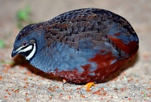 Birds-Perdicinae-OW Quail / A subfamily of non-migratory, Old World group of birds in the pheasant family, Phasianidae that includes the partridges, the snowcocks, the francolins, the spurfowl and the Old World quail.