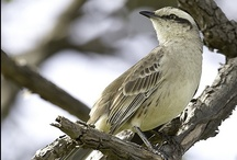 Birds-Mimidae-mockers / The Mimidae includes thrashers, mockingbirds, tremblers, and the New World catbirds. These birds are noted for their ability to mimic numerous other birds and sounds outdoors.