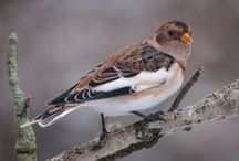 Birds-Calcariidae-l.spurs/buntings / This family includes the longspurs and snow buntings. There are 6 species in 3 genera worldwide, found mainly in N. America and Eurasia