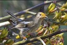 Birds-Notiomystidae-HiHi's / This family of birds contains one member, the Hihi or Stitchbird, which is a rare honeyeater-like bird endemic to the North Island and adjacent offshore islands of New Zealand.