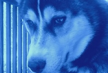 Huskies... there's a special place in my heart for all of you! / by Kristin Hassan