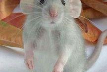 Ratas & Ratitas & Ratones