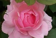 Roses / by Betty  Burton Harrison