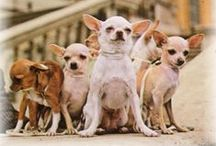 Chiwizzle McShizzle ( chihuahua love ) / The Biggest Little Dog