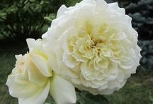 Roses ❀ White Cream Green Yellow / #white #cream #ivory #gold #green #yellow #roses  ~ #Rose #database loosely defined by 6 colour groups.  Looking for vigour, disease & pest resistance, repeat flowering and SCENT:  sweet, fruity, citrus, musk, myrrh, tea, clove, honeycomb, 'old rose fragrance', banana, licorice, spice, honey, apple, pear, lilac, gardenia, sweet white wine, cinnamon etc.  Only named roses here.~
