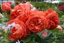 Roses ❀ Orange Brown / #orange #copper #vermilion #brown #apricot #roses  ~ #Rose #database loosely defined by 6 colour groups.  Looking for vigour, disease & pest resistance, repeat flowering and SCENT:  sweet, fruity, citrus, musk, myrrh, tea, clove, honeycomb, 'old rose fragrance', banana, licorice, spice, honey, apple, pear, lilac, gardenia, sweet white wine, cinnamon etc.  Only named roses here.~