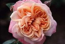 Roses ❀ Peach Coral Bi-Colour / #peach #salmon #coral #multi #bi-color #striped #roses  ~ Rose database loosely defined by 6 colour groups.  Looking for vigour, disease & pest resistance, repeat flowering and SCENT:  sweet, fruity, citrus, musk, myrrh, tea, clove, honeycomb, 'old rose fragrance', banana, licorice, spice, honey, apple, pear, lilac, gardenia, sweet white wine, cinnamon etc.  Only named roses here. ~