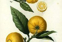 B O T A N I C A L / The classic botanical illustrations of fruits and plants.