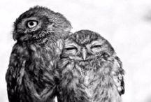 | Owl Love |