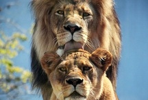 Those Big Beautiful Cats!! / by Rosie Merrill