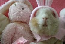 My love - guinea pigs