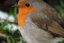 Rouge-gorge/Robin