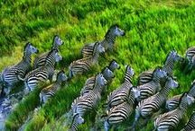 Animals - Africa / I love Africa. Elephants, Giraffes and Zebras. Who doesn't love them !? HUH?? I'd love to photograph any and all wild things in Africa. And the scenery...and the people !!  Can I see a safari in my future? No, unfortunately, but with your pins I can come see them every day !  Perhaps there is a winning lottery ticket in my future...then AFRICA HERE I COME !!! / by Mary Cox