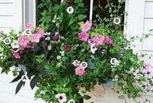 Garden: Window Boxes