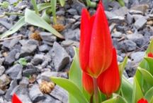 Tulpe Lale