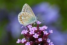 **butterfly**