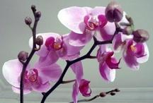 **orkide**