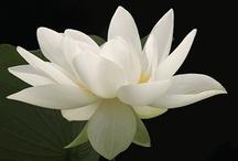 lotus*lotus*lotus****