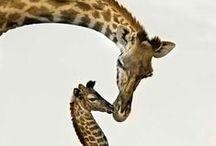 Genius Giraffes
