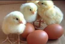 CHICKEN EGG FARMING / We love our chickens! / by Carl n Les