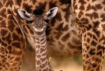 Giraffes are the most beautiful creature on this planet! / by Kasie Core