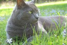 Russian Blue Cat...