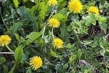 Plantes vertueuses / #Plantes et #fleurs #médicinales, #herbes #aromatiques et #arbres #fruitiers, la #nature au service de notre #bien-être !