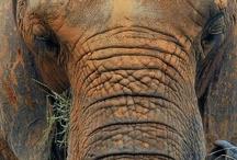 Elephants...Gentle Gaints! / by Jane McWilliams Moseley