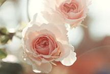 Roses, beautiful roses!