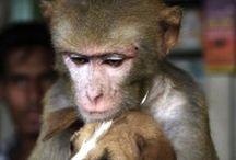 Monkey Business / Changos, Monos, Simios, Primates, Singes...y familia / by Marc Durand-Chastel