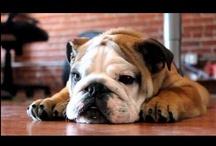 Bulldog Love!