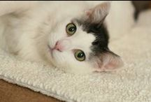 Adorable Adoptables - Cats / Meet the cats for adoption at PAWS of Coronado - the friendliest paws in San Diego County! / by PAWS of Coronado