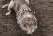 Cool Pets Photos+Videos / Photos from my Lizaki husky dog and other lovely pets