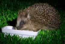 Hedgehogs  in the garden / hedgehogs in the garden