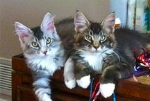 My Main Coons Lynxy & Bella / These are my two fur babies. / by Mia Doland
