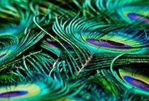 Peacock Perfect