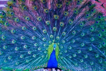 peacock / by Aj Brokaw