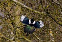 Magpies / by Aj Brokaw