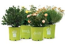 Star® Roses and Plants / A selection of roses, shrubs and plants from Star® Roses and Plants. #PlantAStar