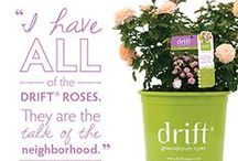 Drift® Groundcover Roses / The low, spreading habit of Drift® Roses is perfect for all gardens and combination planters. They brighten borders, fill empty spaces, and spread delicately around established plants.
