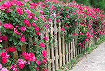 The Knock Out® Family of Roses / A garden that stands out starts with a Knock Out®