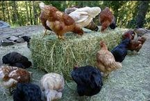 My Urban Farm: Chickens (My Peeps) / i have so much to learn and there's so many great pics thought the peeps deserved their own board
