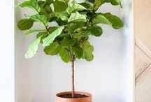 Fiddle Leaf figs