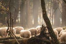 Het veluwse schaap