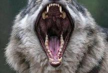 Wolfs/Wolfdogs