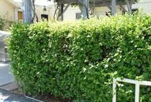 Drought-Tolerant Hedge Ideas / Shrubs make a great screen or hedge. Some of these plants get 10-15' high some only 3'-5' high. You may want a screen for complete privacy or a low hedge to deter dogs and establish your property line. Some of these hedges are loose and casual, while some can be cut into formal lines. Give your hedges a little extra water to get established. Go easy on the phosphorous. Plant a few feet off your sidewalk. Prune hard to keep their shape.