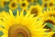 "Sunflowers / ""Never look directly at the sun. Instead, look at the sunflower."" ~Vera Nazarian, The Perpetual Calendar of Inspiration"